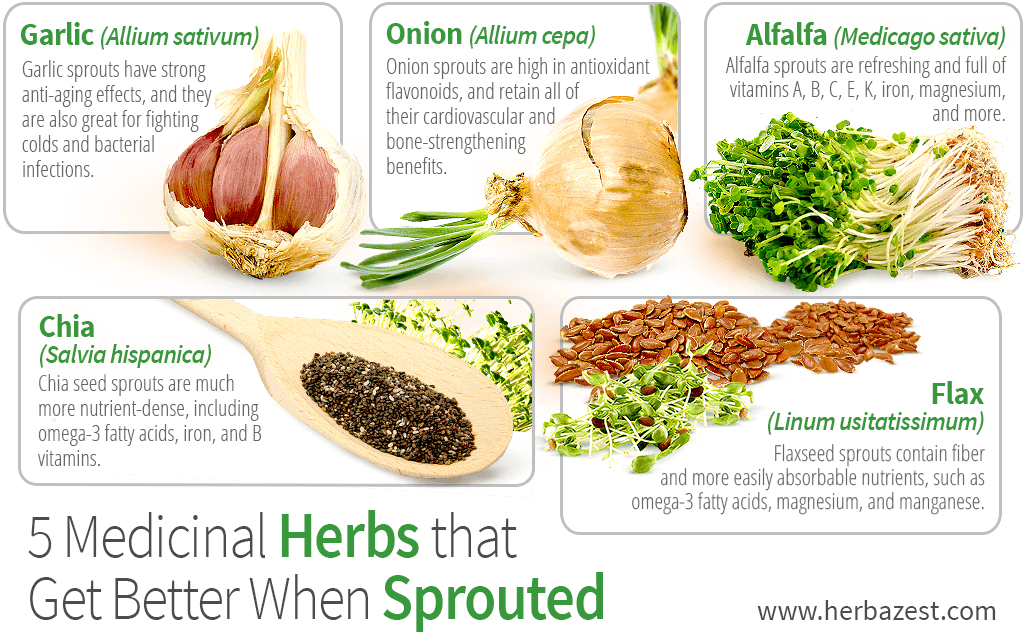 5 Medicinal Herbs that Get Better When Sprouted