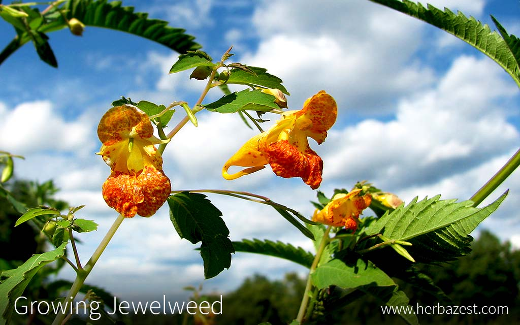Growing Jewelweed