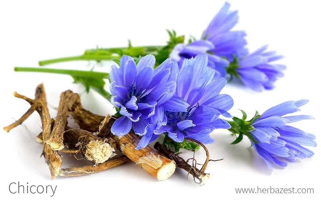 Chicory | HerbaZest