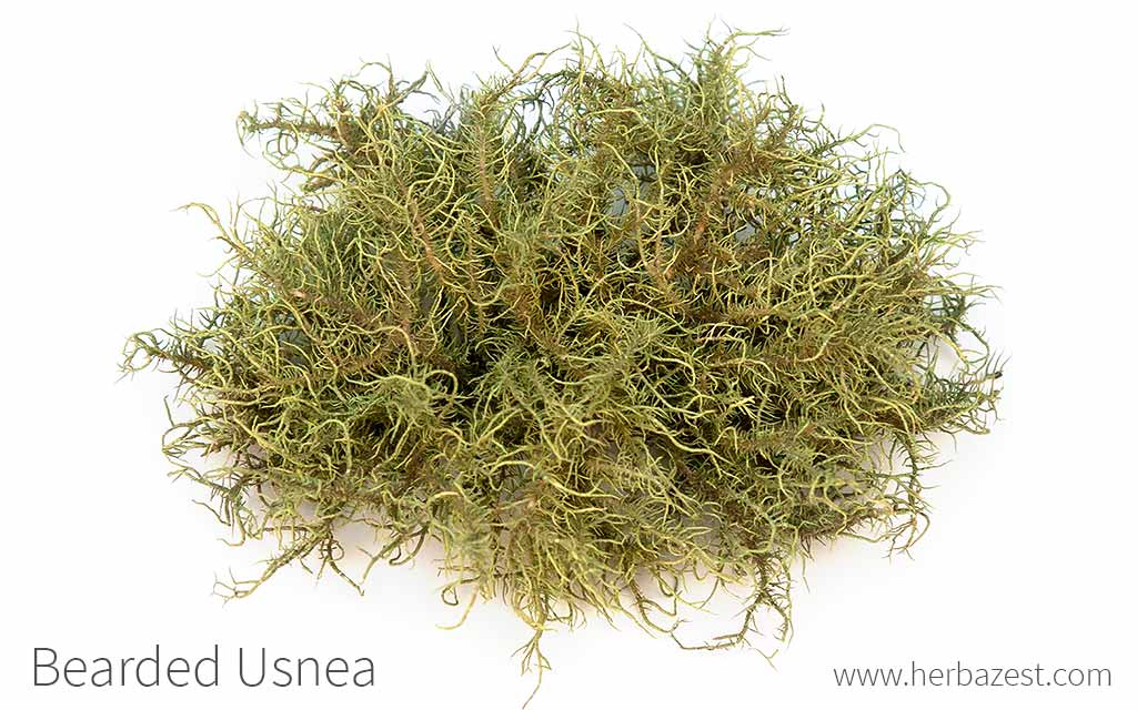 Bearded Usnea