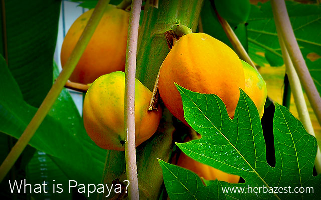 What is Papaya?
