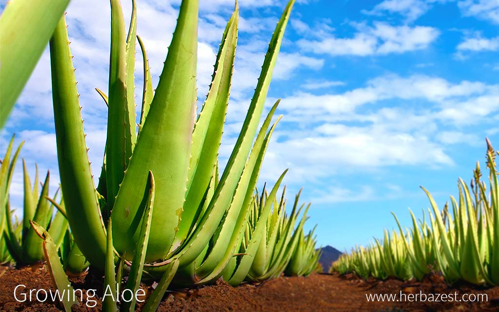 Growing Aloe