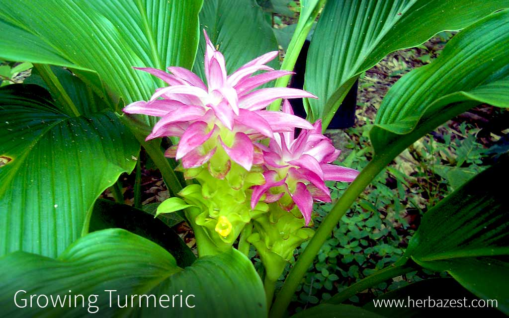 Growing Turmeric
