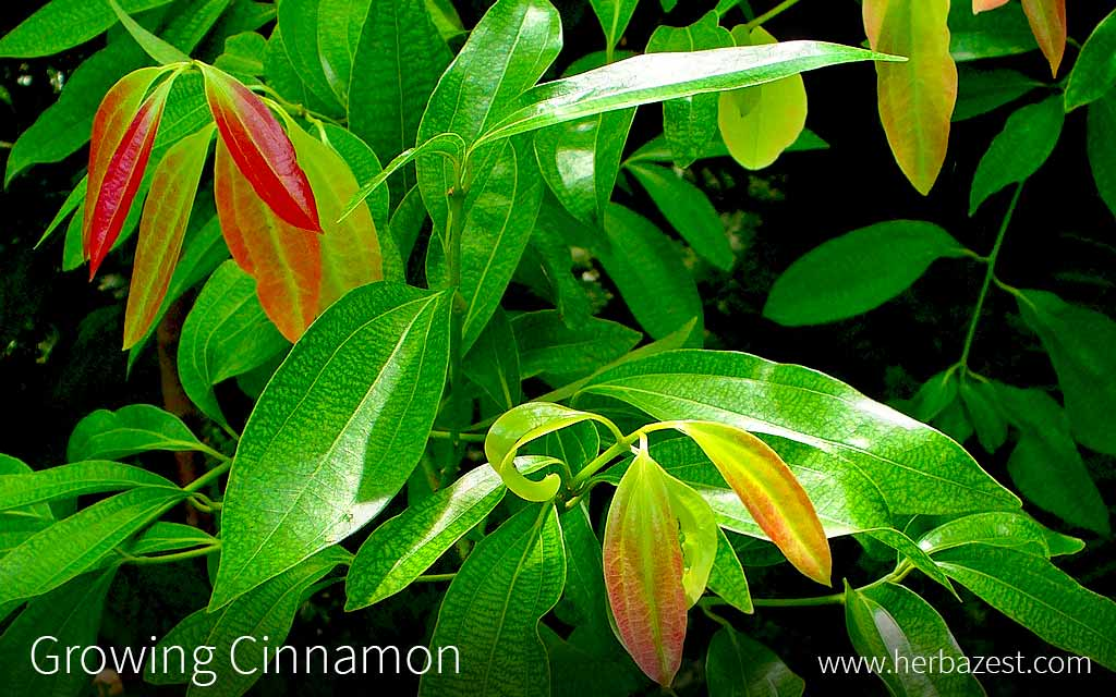 Growing Cinnamon