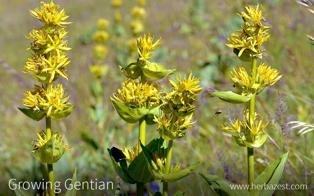 Growing Gentian