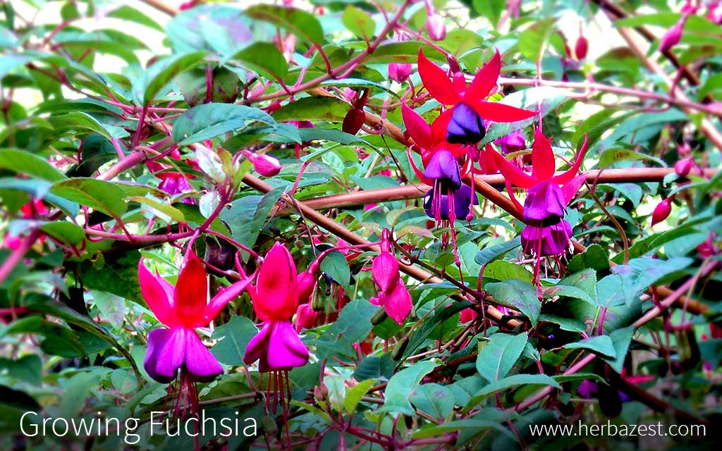 Growing Fuchsia