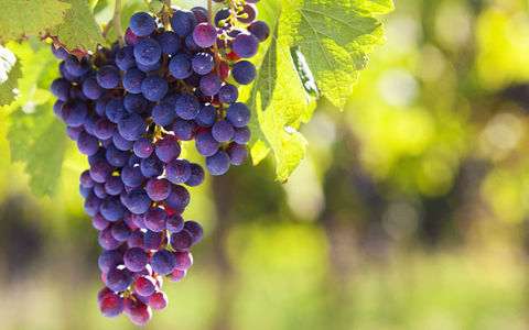 New Study: Resveratrol in Grapes as a Cure for Neurodegenerative Disease