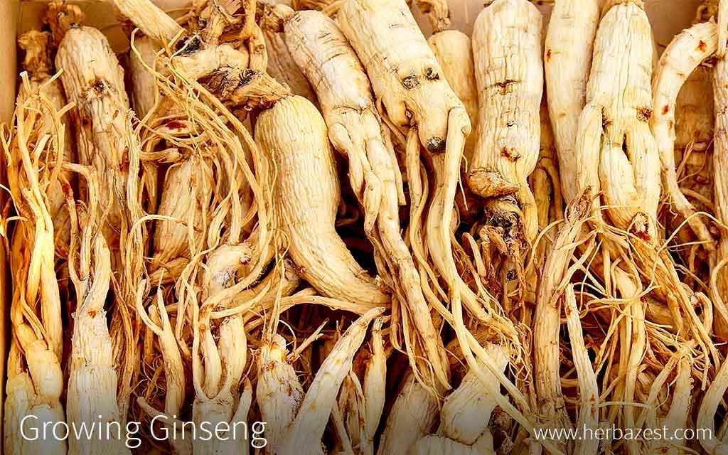 Growing Ginseng