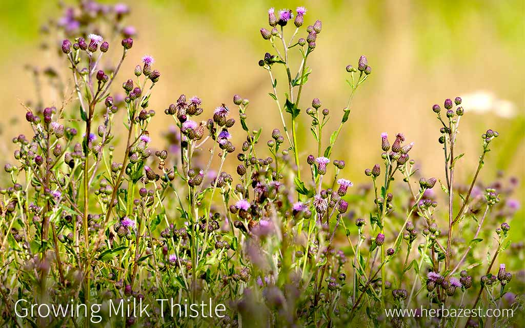 Growing Milk Thistle