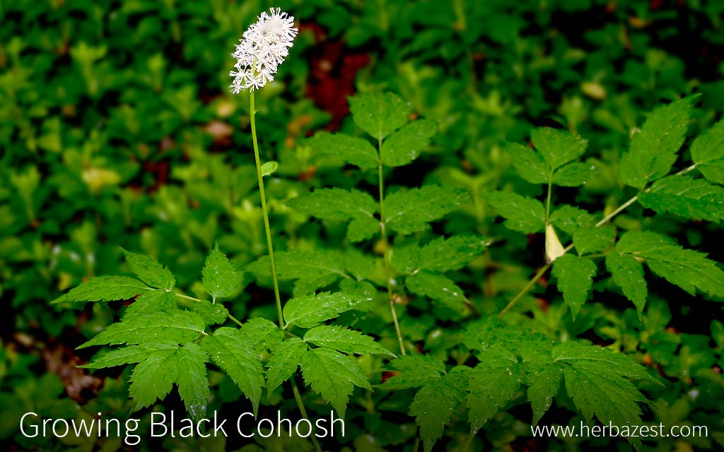 Growing Black Cohosh