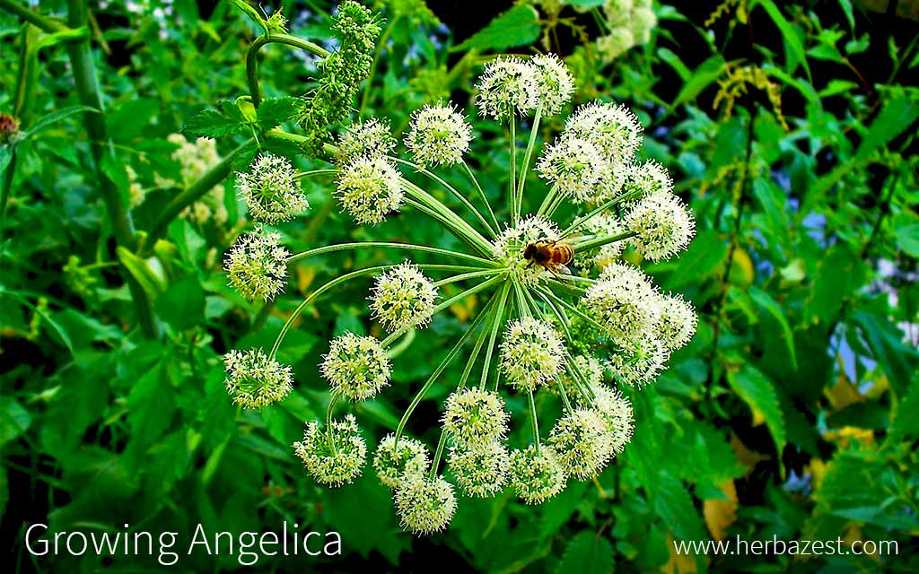 Growing Angelica