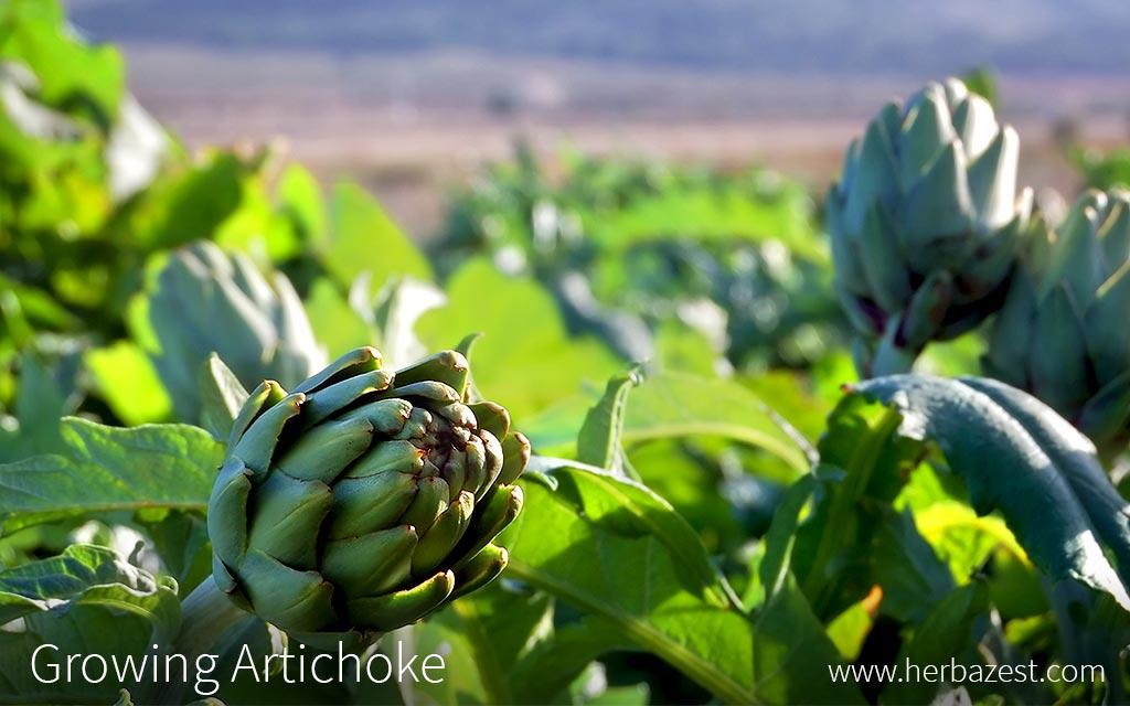 Growing Artichoke