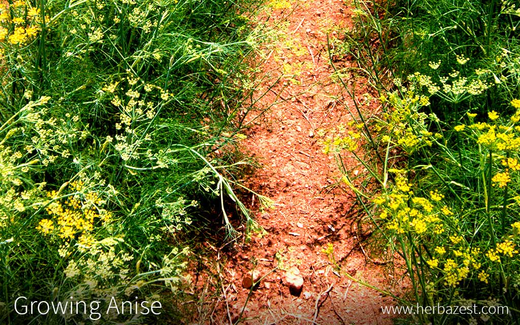 Growing Anise