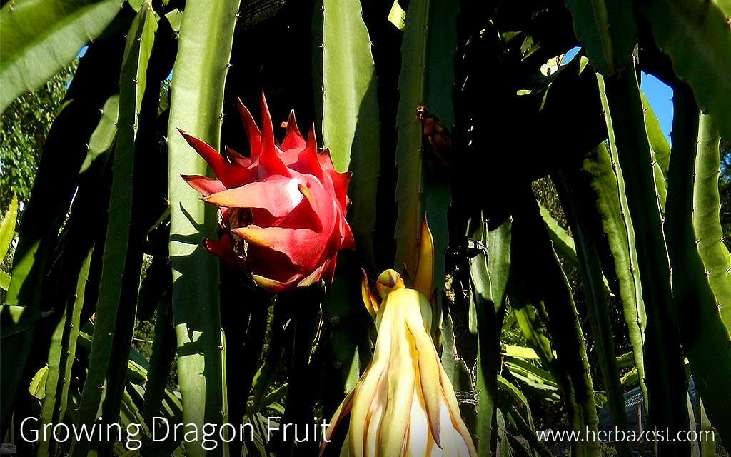 Growing Dragonfruit
