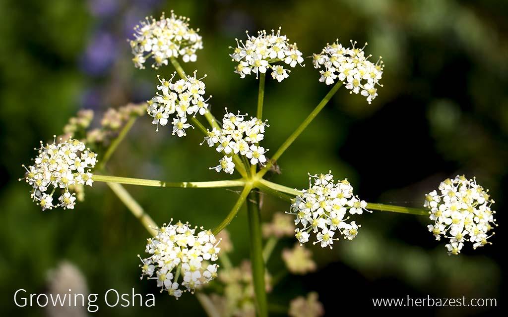 Growing Osha