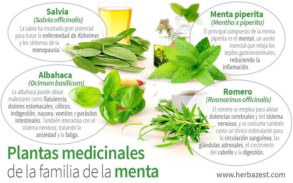 Plantas medicinales de la familia de la menta