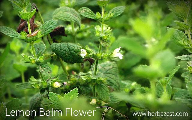 Lemon Balm Flower