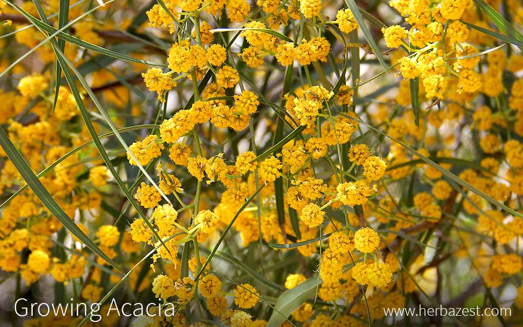 Growing Acacia