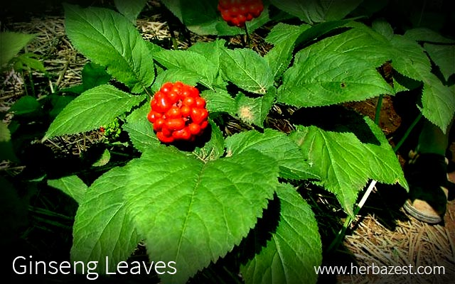 Ginseng Leaves