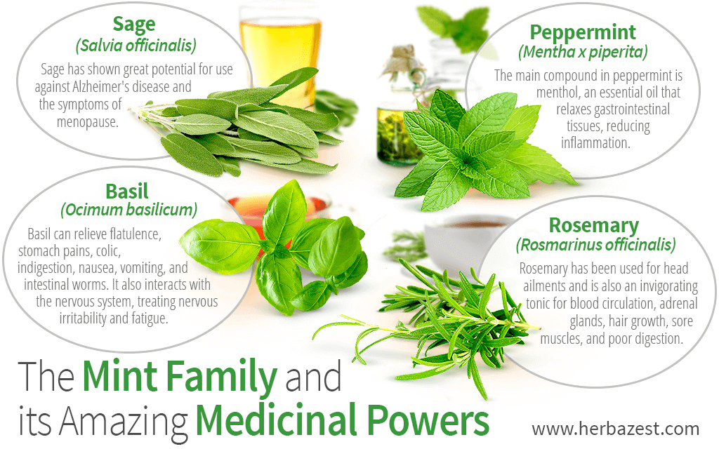 The Mint Family and Its Amazing Medicinal Powers