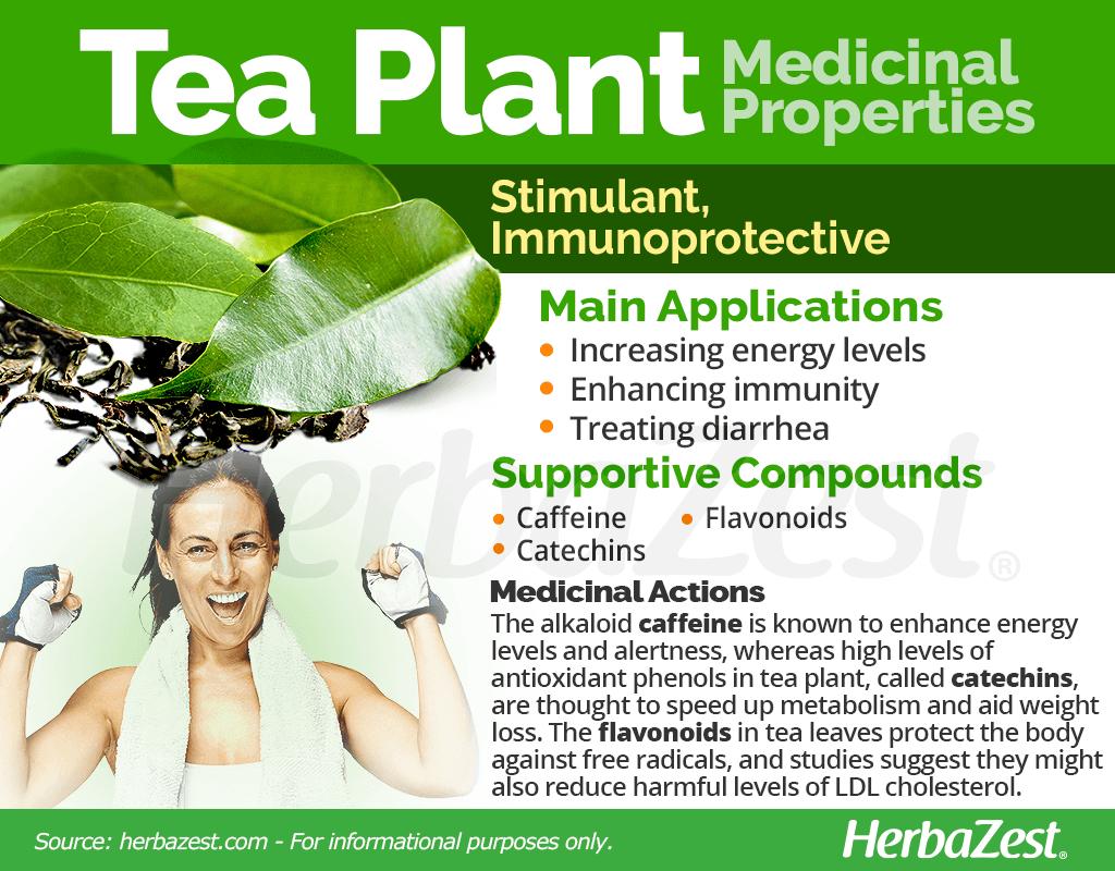 Tea Plant Medicinal Properties