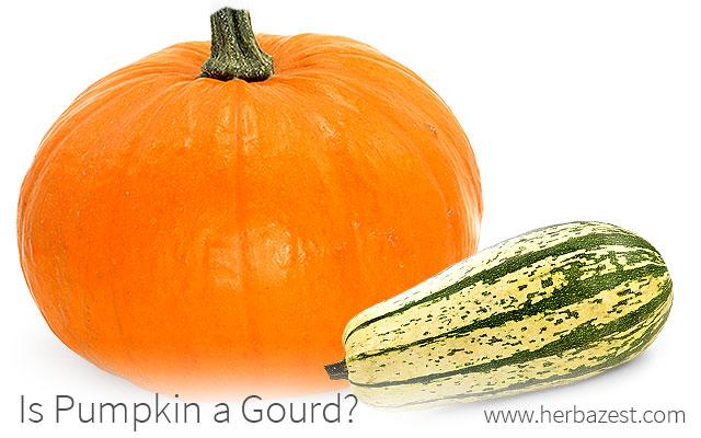 Is Pumpkin a Gourd?