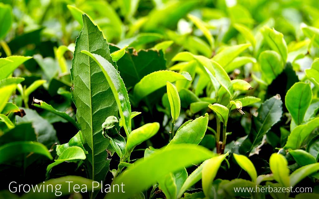 Growing Tea Plant