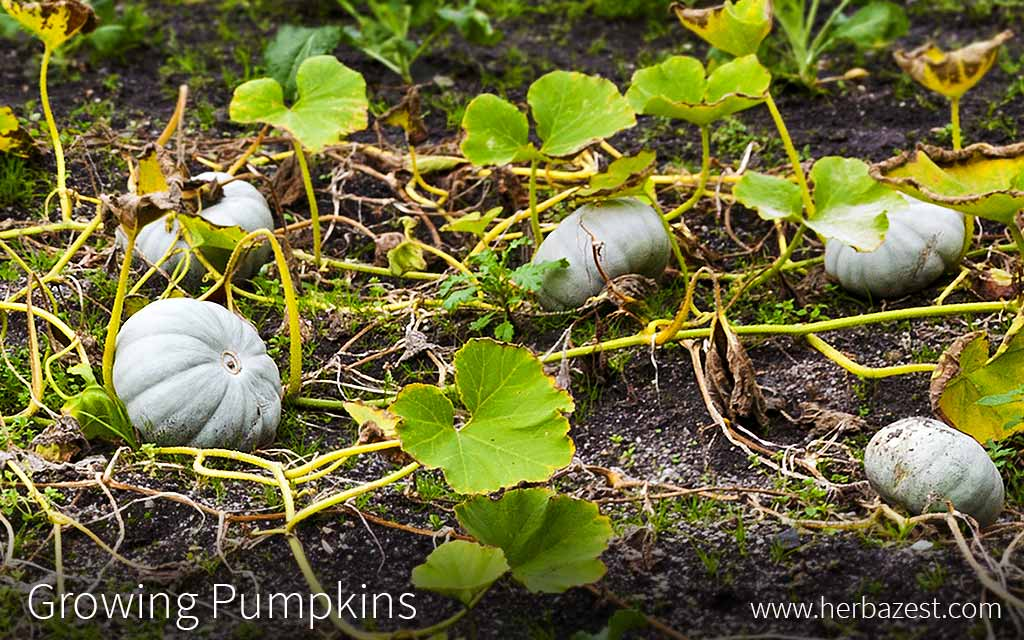 Growing Pumpkin